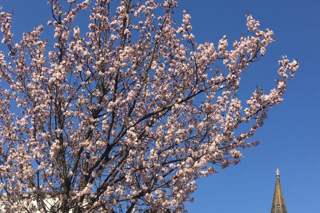 Blühender Kirschbaum und Zionskirche